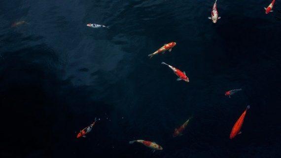 5 Tips Membersihkan Kolam Ikan Bekasi Terbaik